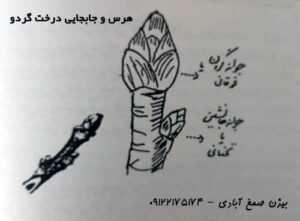جابجایی درخت گردو
