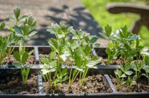 تکثیر گیاهان علفی (ساقه)