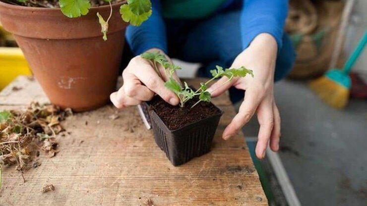 تکثیر گیاه از ریشه (قلمه زنی) (رشد سریع)