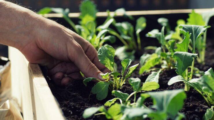 تکثیر گیاهان از طریق خواباندن شاخه