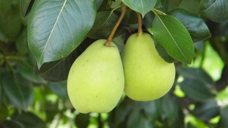 گلابی و روش پرورش و هرس و جابجایی + درخت گلابی